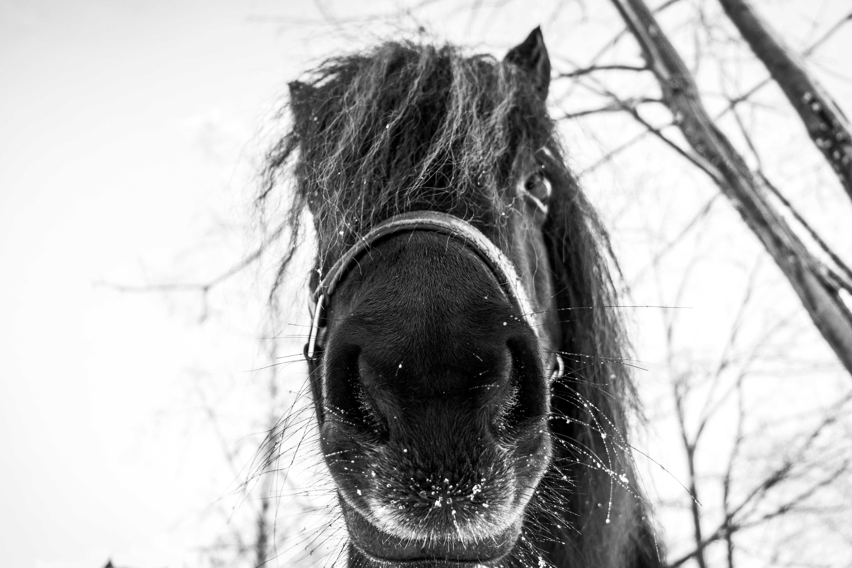 Free stock photo of b&w, horse, winter