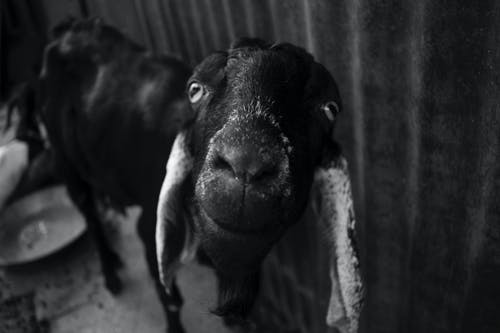 Free stock photo of animal photography, animal portrait, black and white, distorted