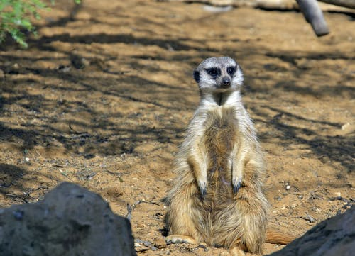 Free stock photo of animal photography, suricate