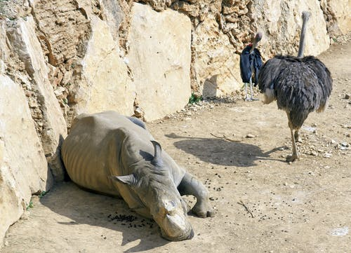 Free stock photo of animal photography, rhino, rhinoceros