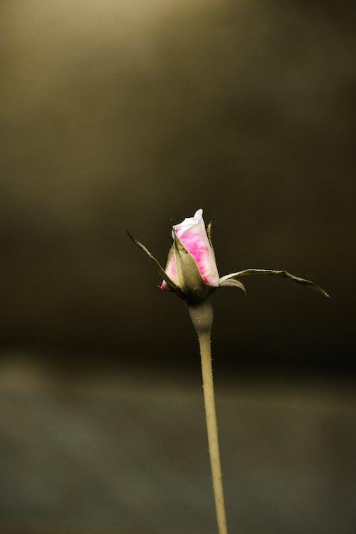 Fotobanka sbezplatnými fotkami na tému kvitnutie, rose bud