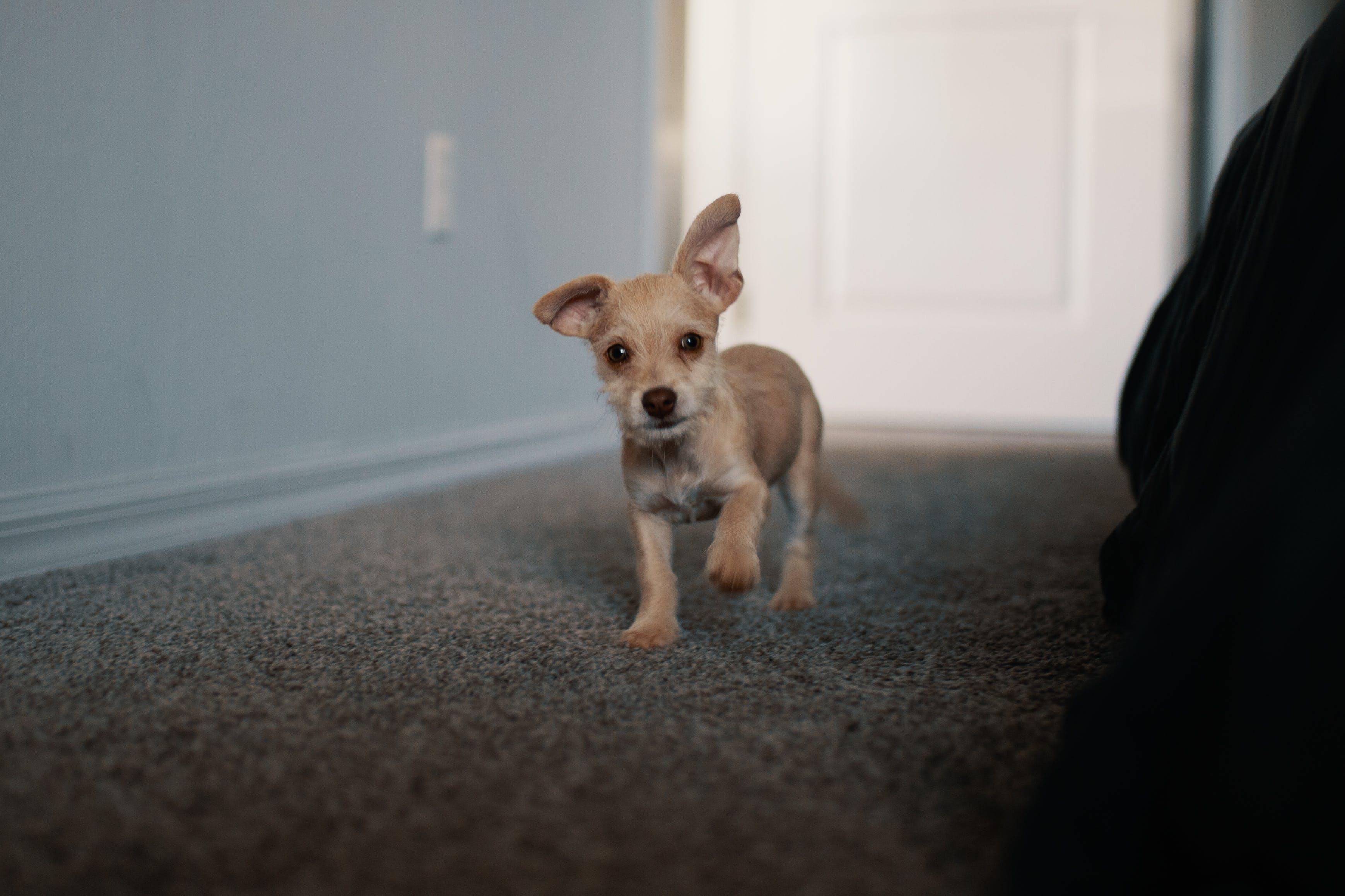 Short-coated Tan Puppy Walking on Black Carpet