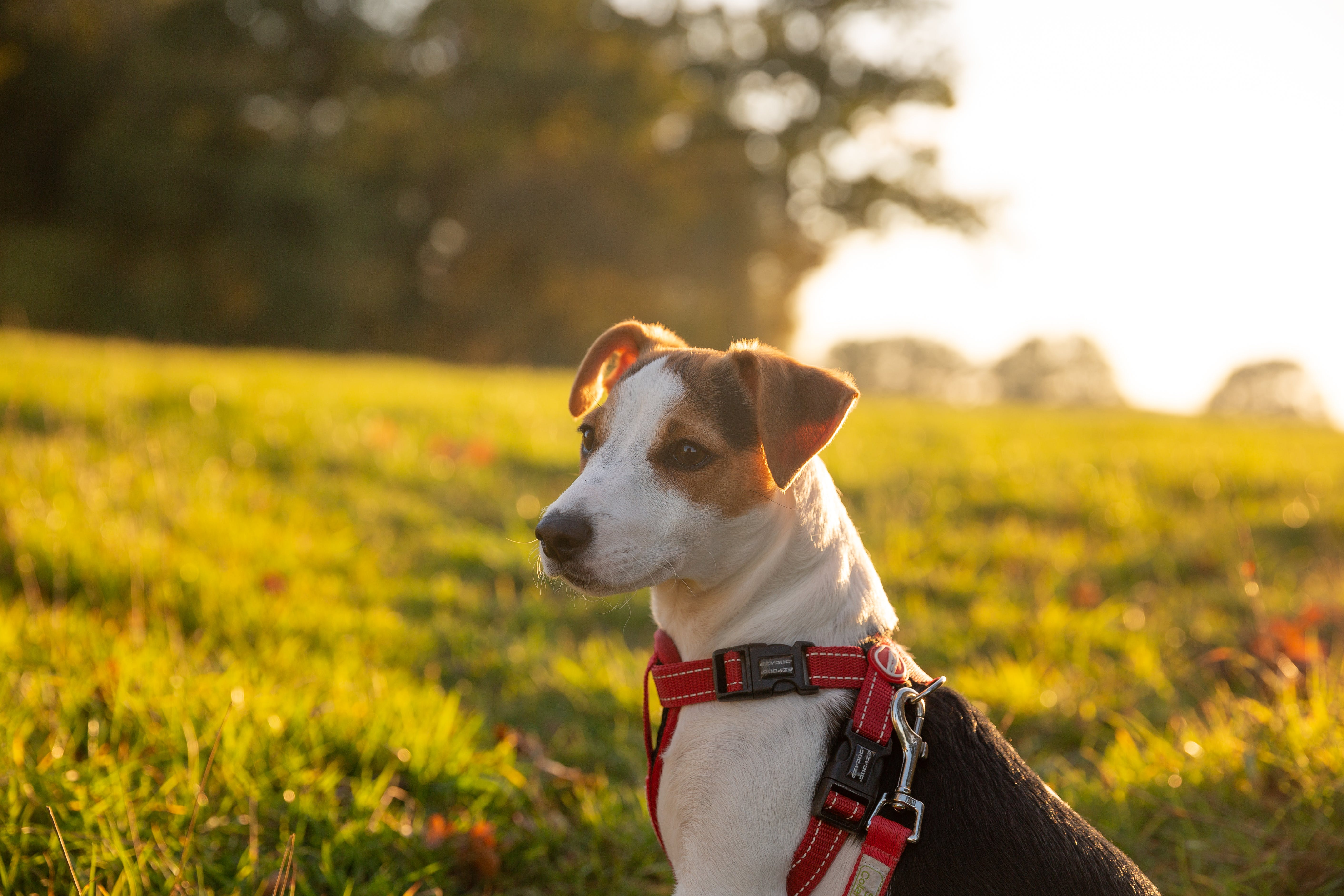 Close-Up Photo of a Jack Rusell Terrier