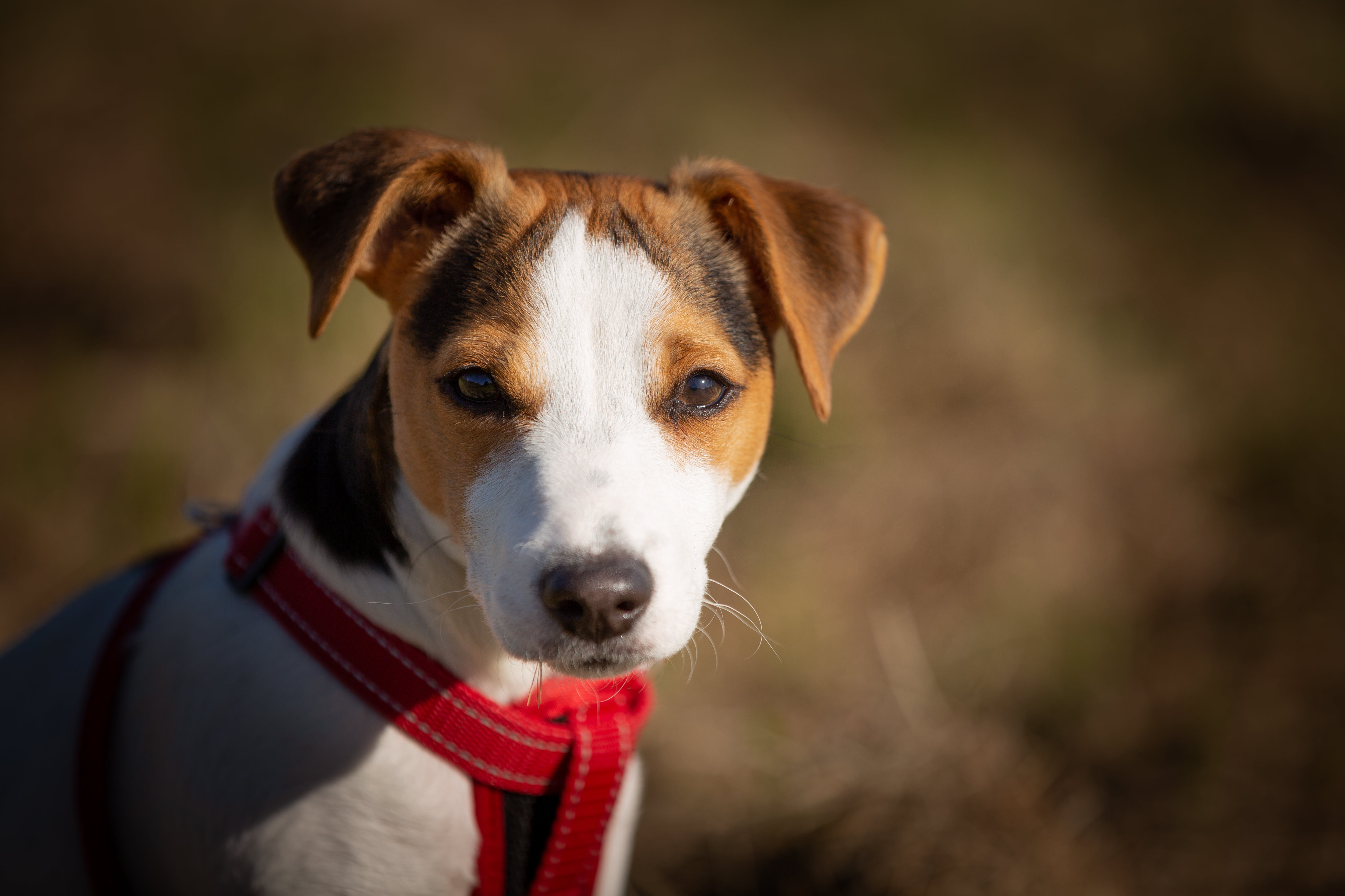 Close-Up Photo of Jack Rusell Terrier