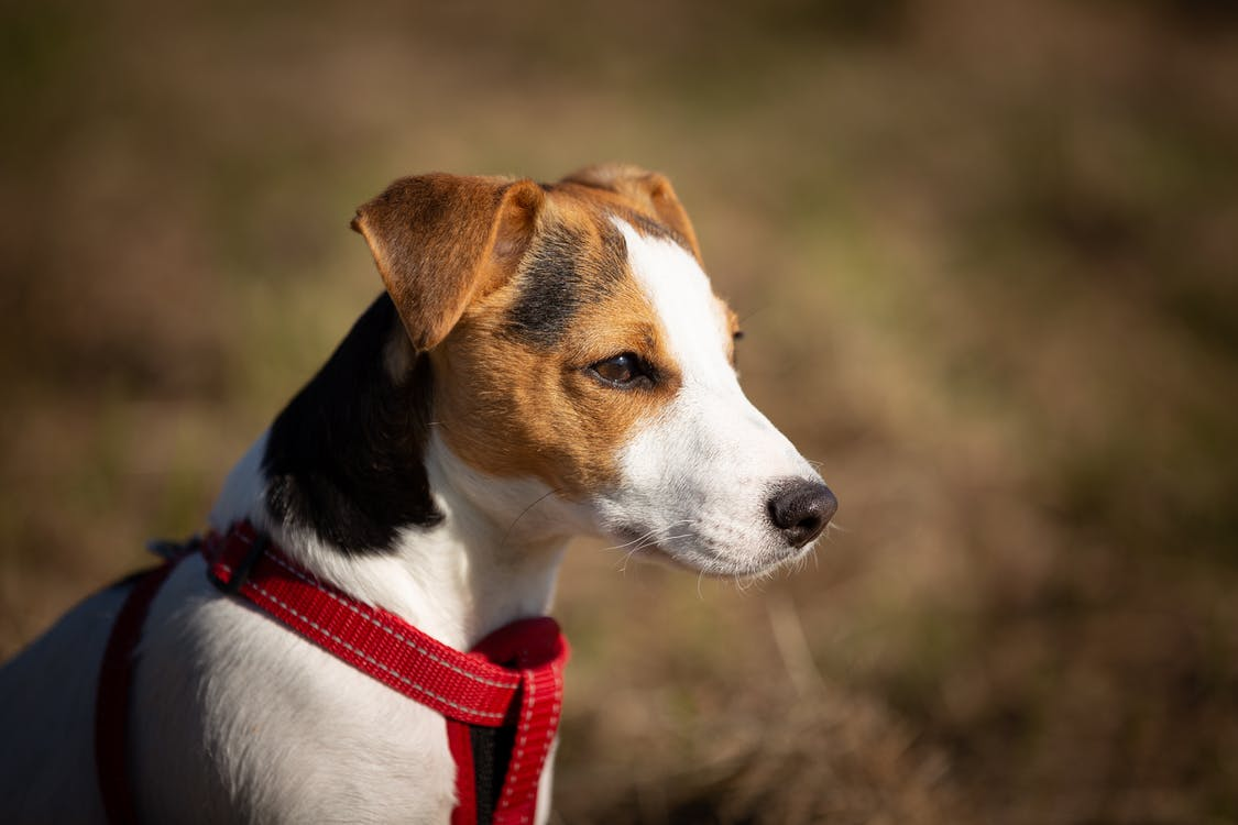 Short-coated Brown, White, and Black Dog Wearing Red Harness
