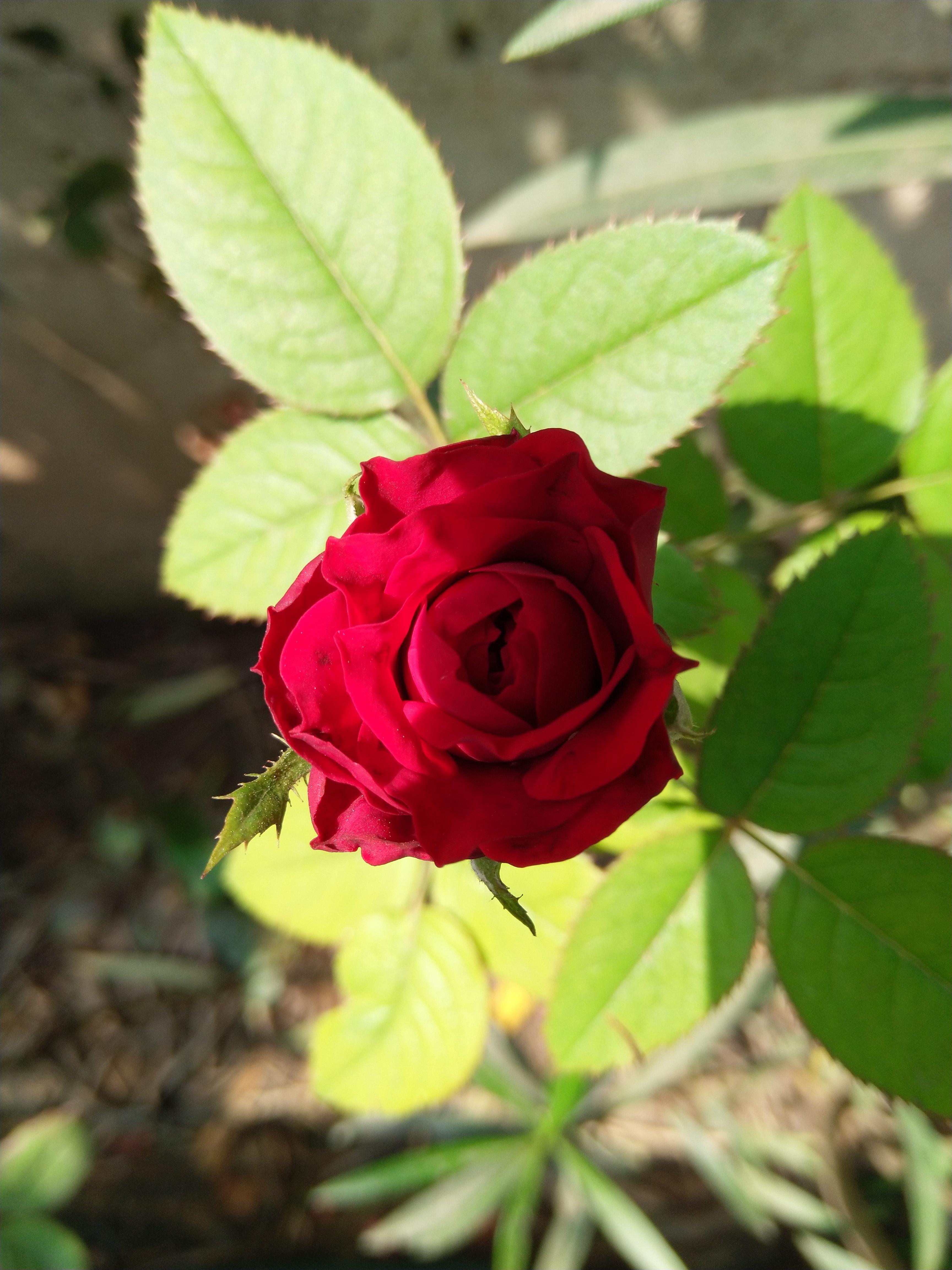 Foto Stok Gratis Tentang Bunga Bunga Indah Daun Bunga Mawar Mawar Merah