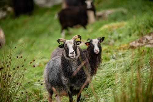 Free stock photo of grass, sheep, sheeps