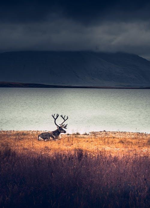 Fotos de stock gratuitas de césped, ciervo, cornamenta, fauna