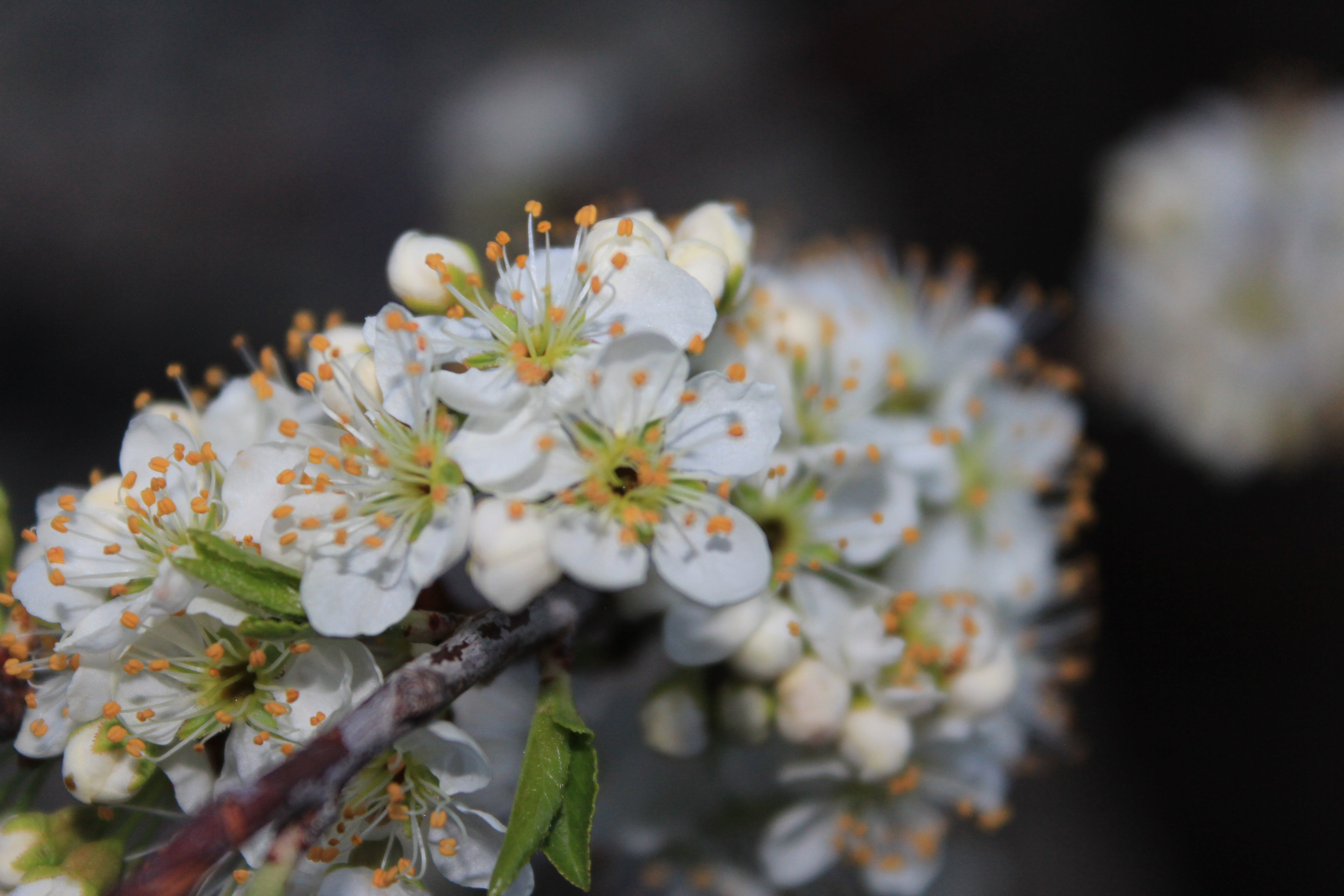 Free stock photo of beauty, bloom, branch, brown