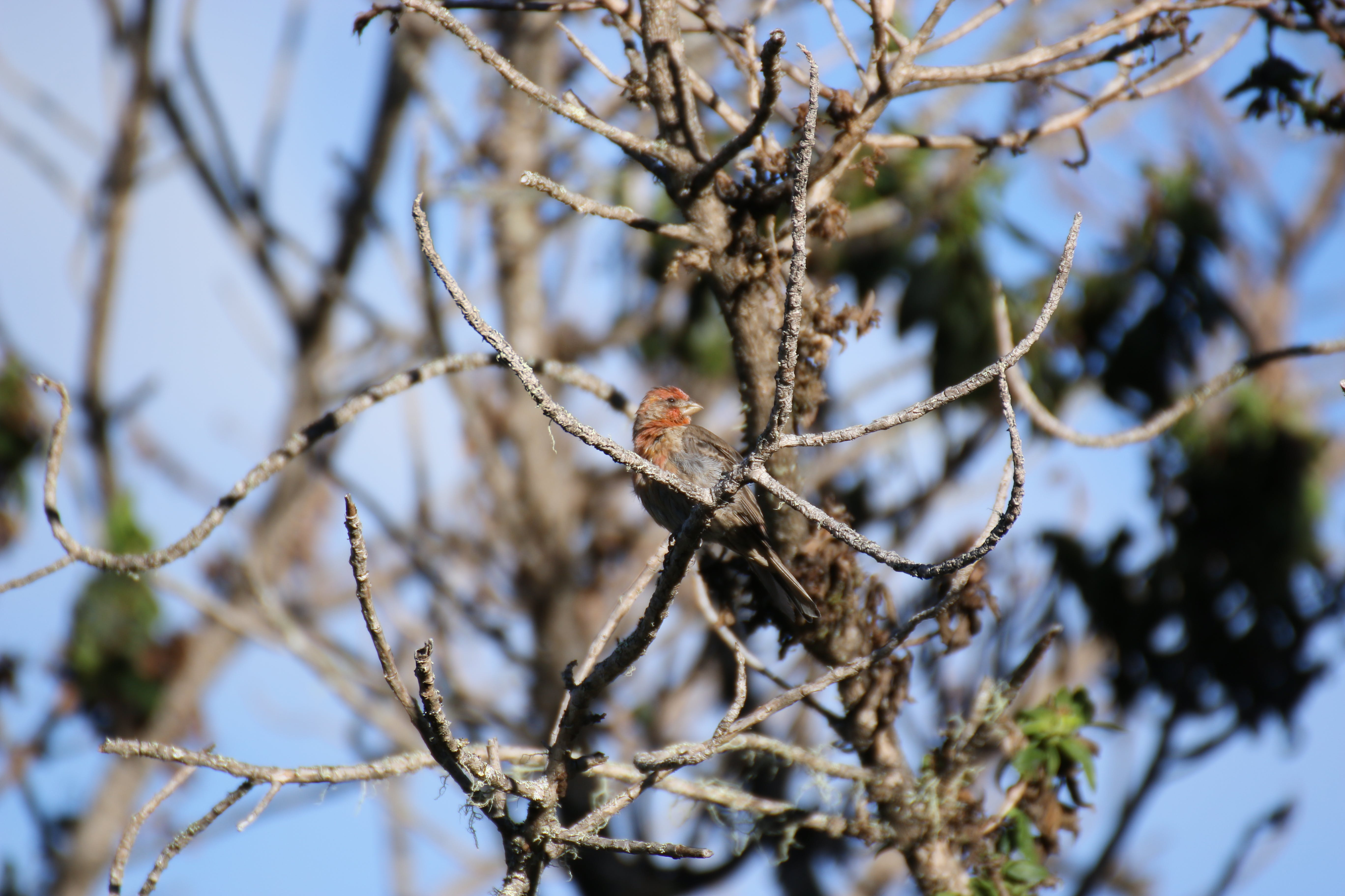 Free stock photo of finch, hawaii, koa tree