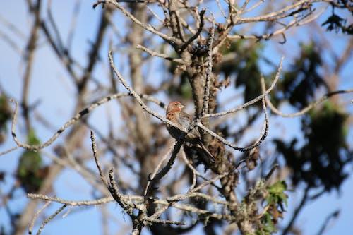 Ilmainen kuvapankkikuva tunnisteilla havaiji, koa puu, peippo
