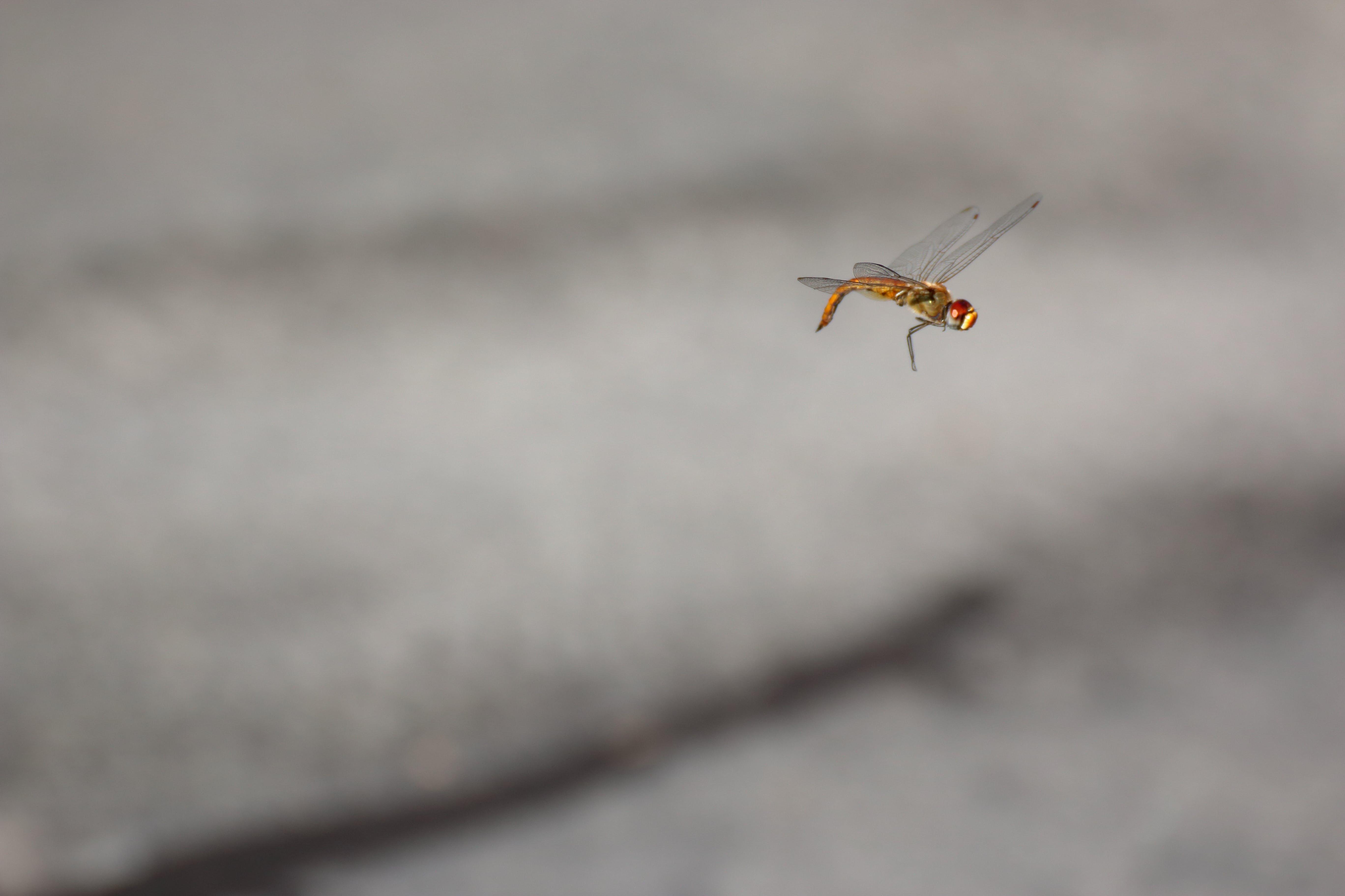 Δωρεάν στοκ φωτογραφιών με έντομο, λιβελούλα, πέταγμα, υψηλή ταχύτητα