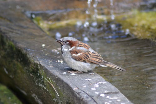 Free stock photo of close-up view, drinking, sparrow, splash