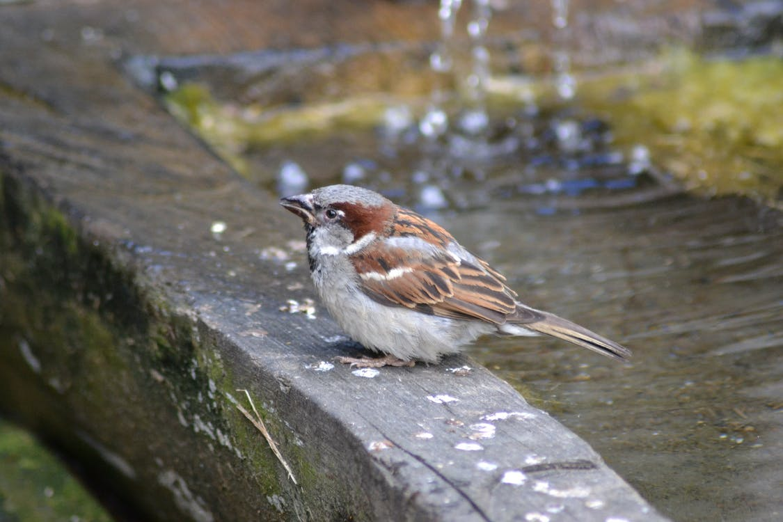 Free stock photo of close-up view, drinking, sparrow
