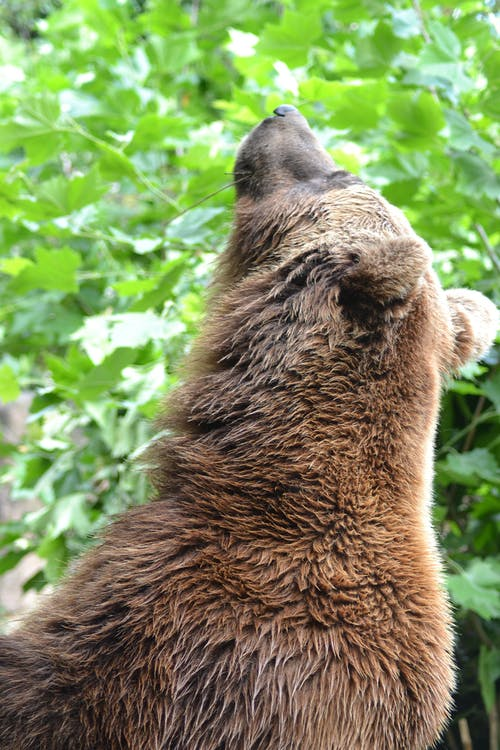Free stock photo of bears, brown bear, close-up view, looking up