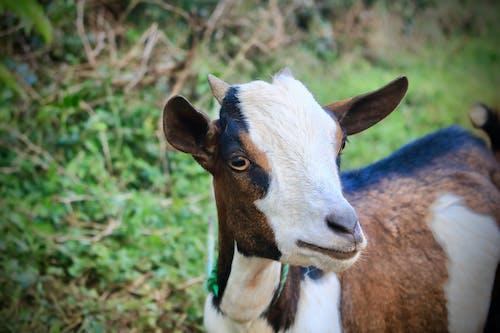 家山羊 的 免费素材照片