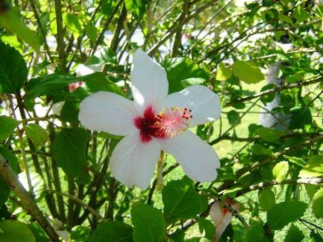 Kostenloses Foto zum Thema: weiß hibiskus-blume