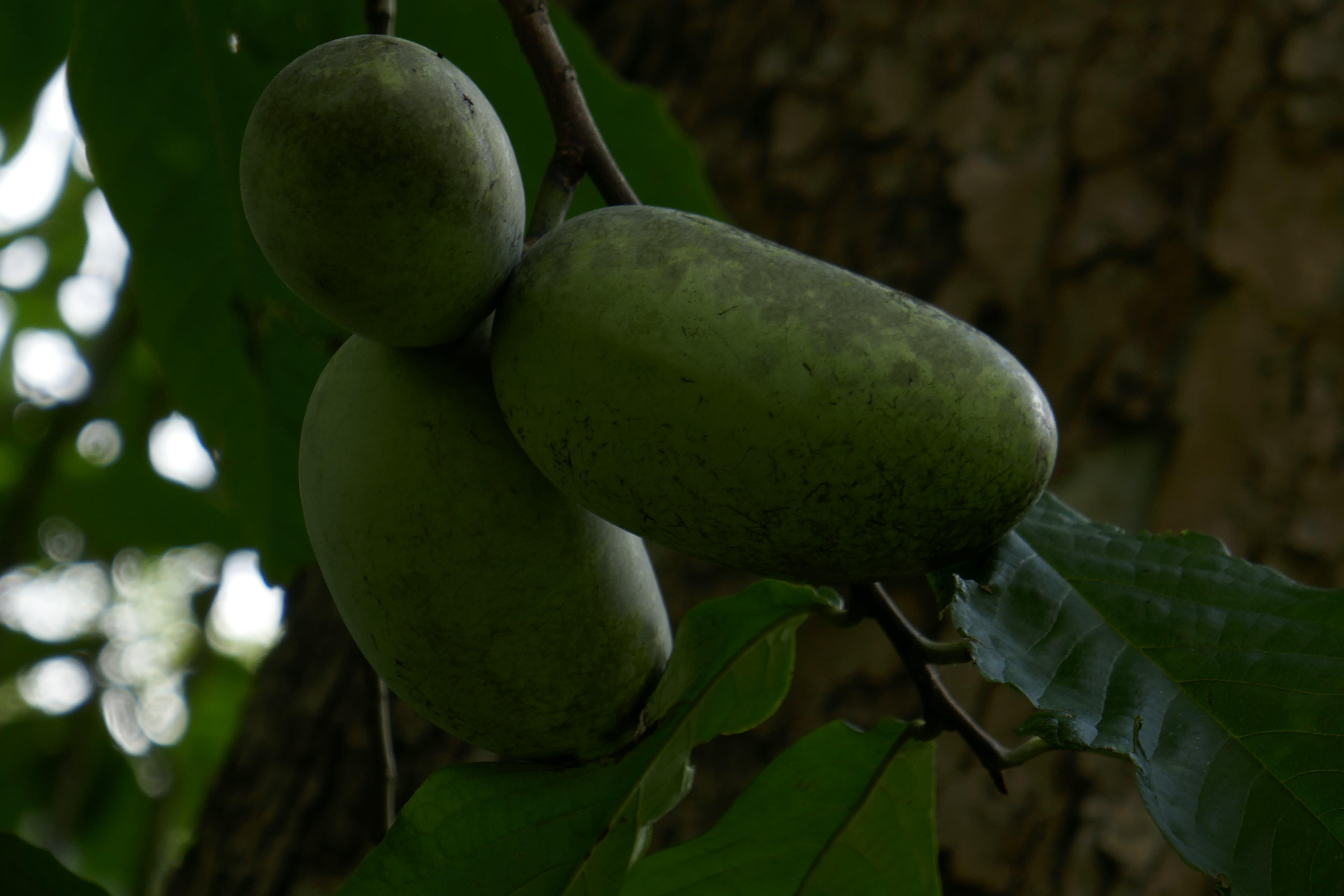 Kostenloses Stock Foto zu papayas