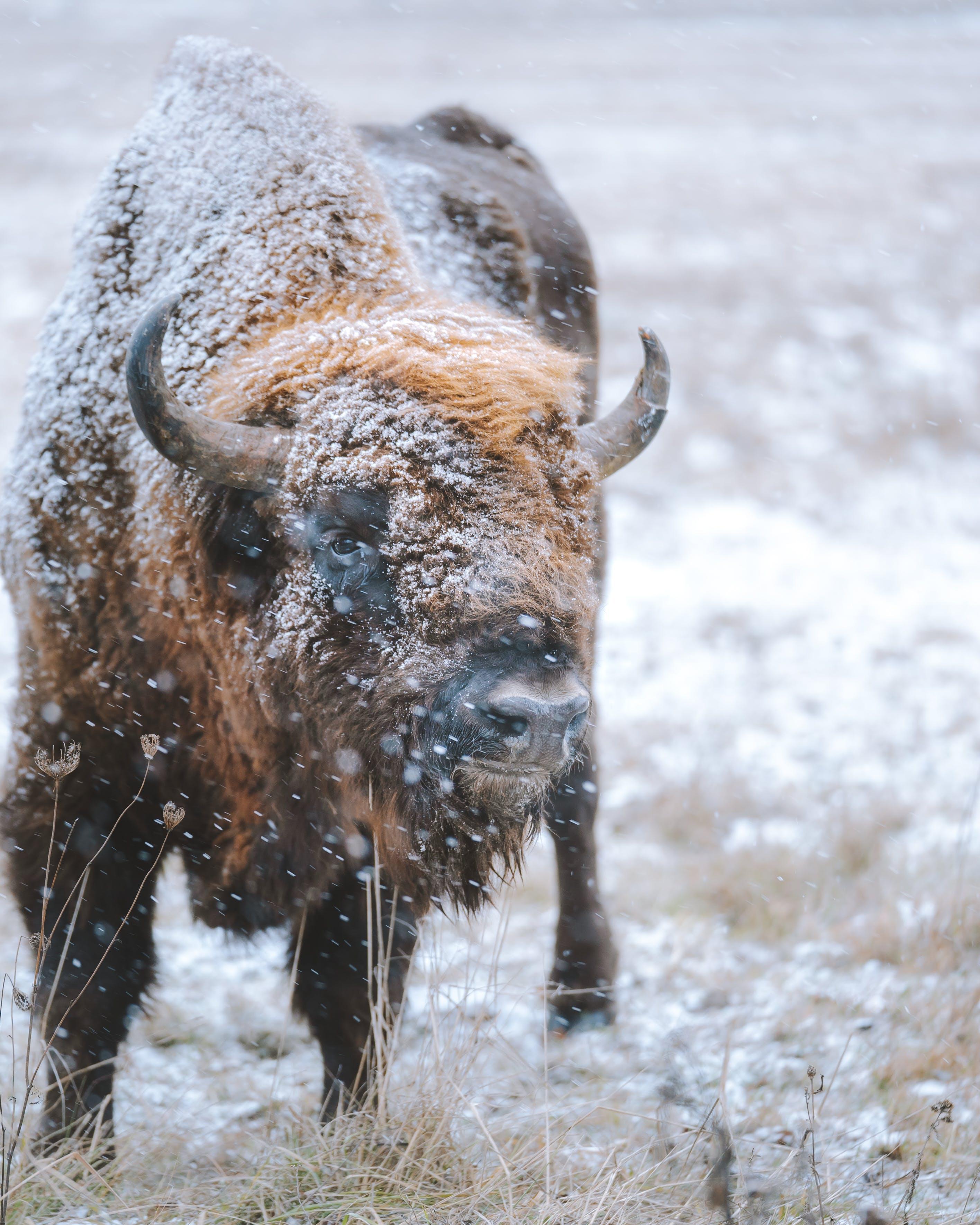 Kostenloses Stock Foto zu bison, frost, kalt, schnee