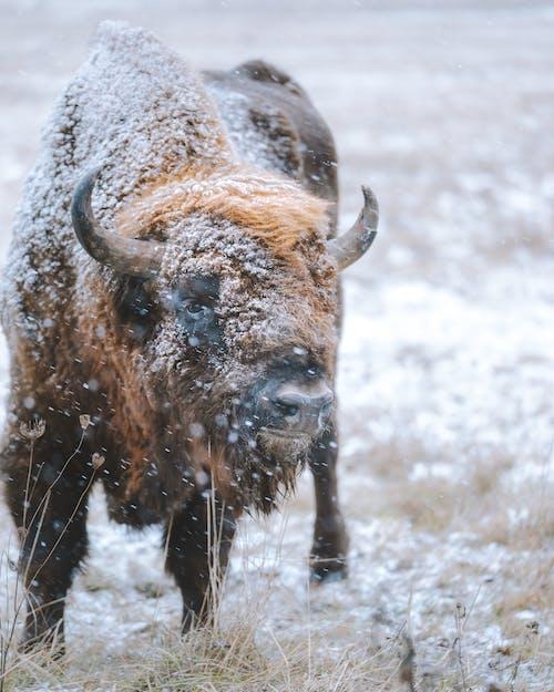 Ilmainen kuvapankkikuva tunnisteilla biisoni, eläin, flunssa, kuura