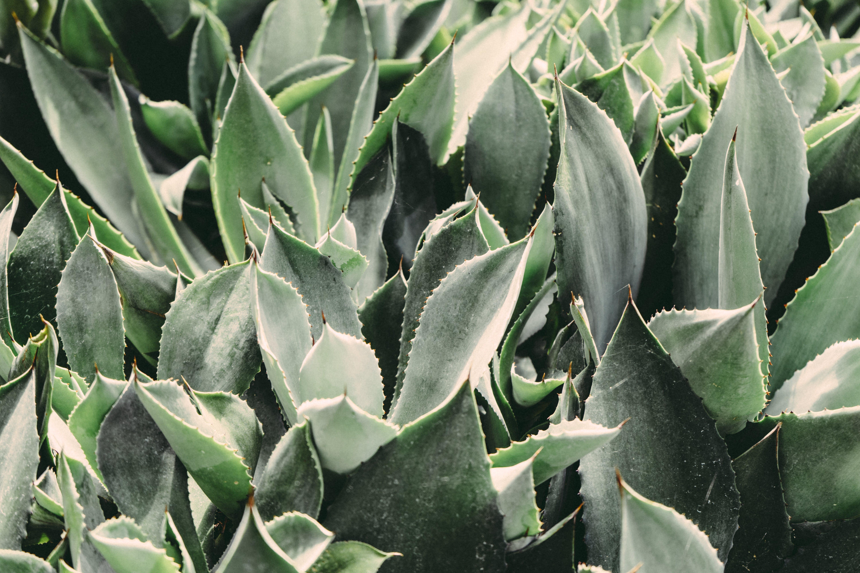 Aloe vera, blue, botanical
