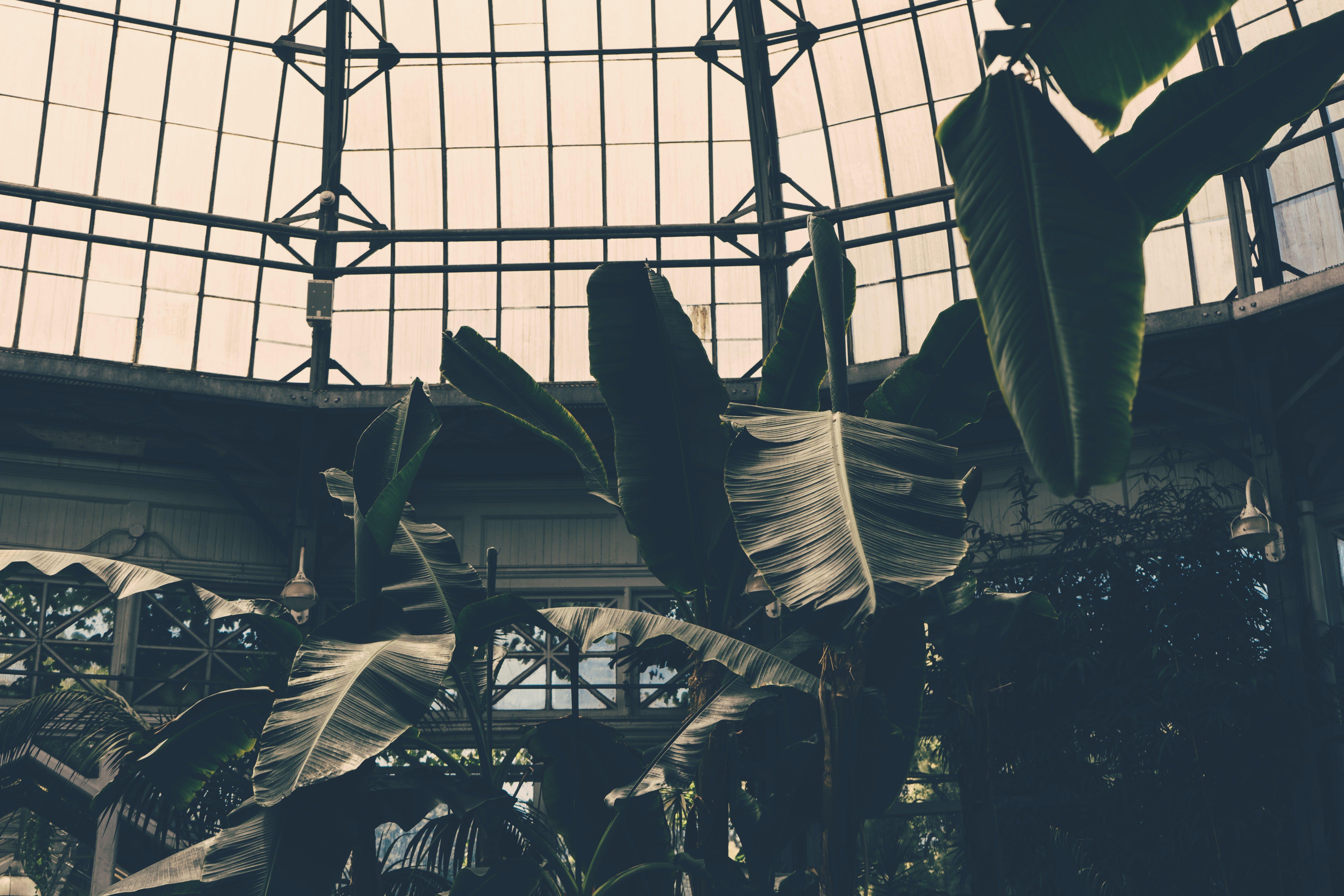 Greyscale Photography of Banana Trees Inside Green House