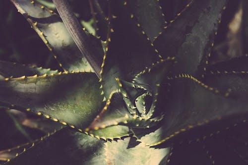 Gratis lagerfoto af Botanisk, close-up, kaktus, luftslør