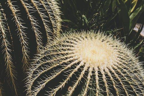 Photos gratuites de acéré, cactus, centrale, couleur