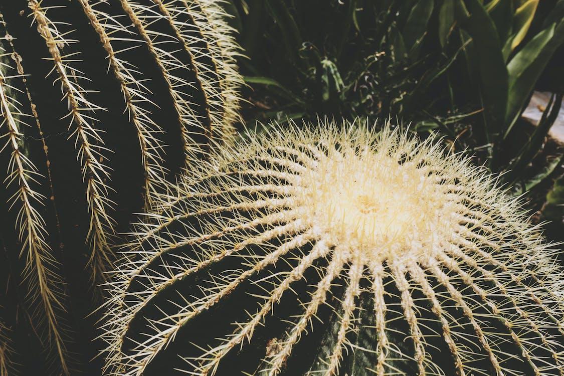 bloemen, cactus, close-up