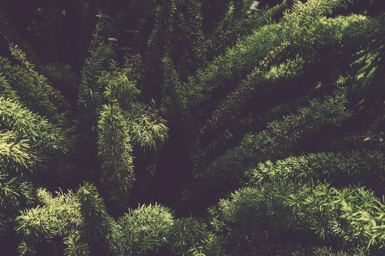 Green Foxtail Ferns Plant
