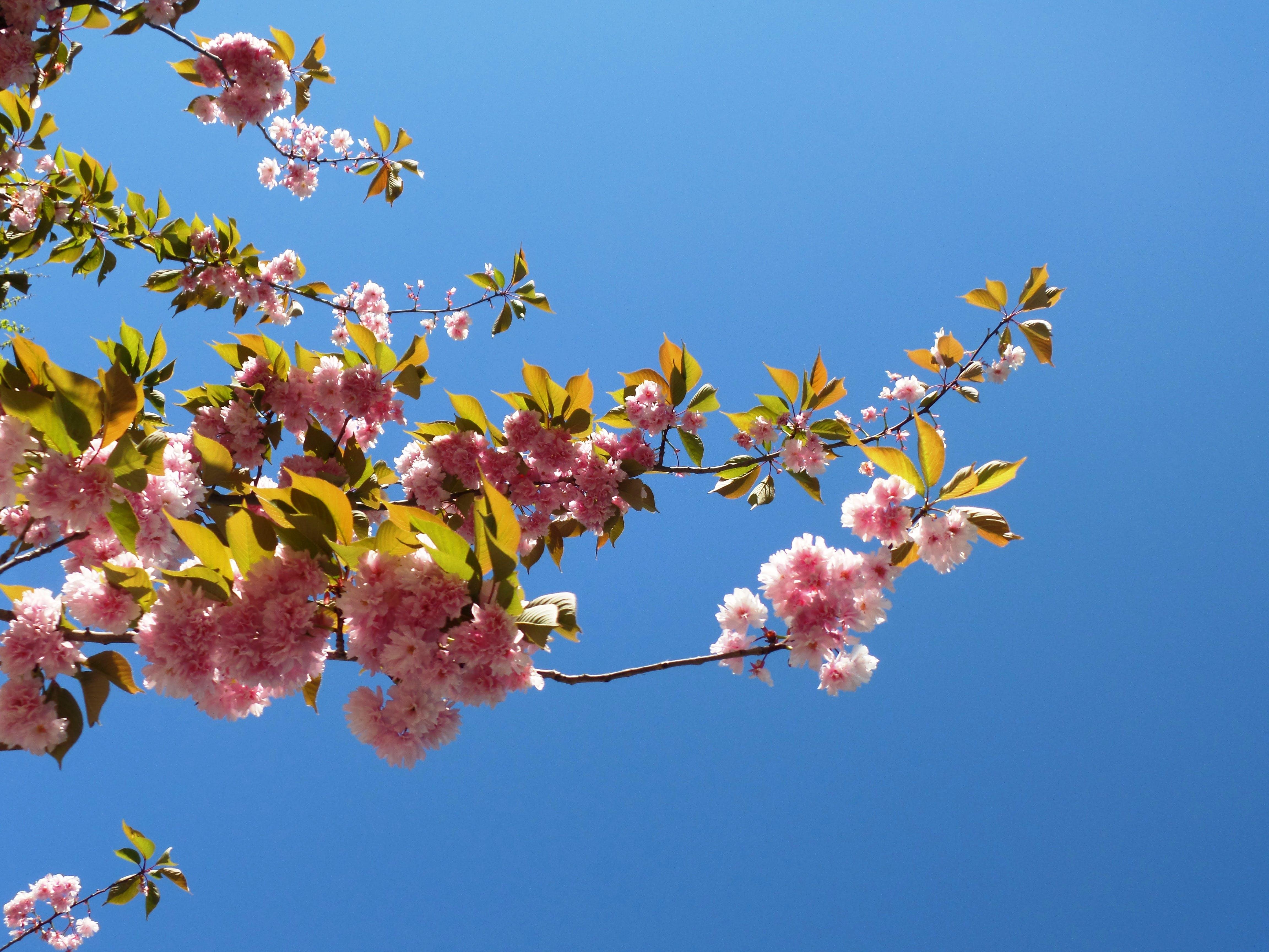 Free stock photo of bloom, blooming, blooming tree, fruit bloom