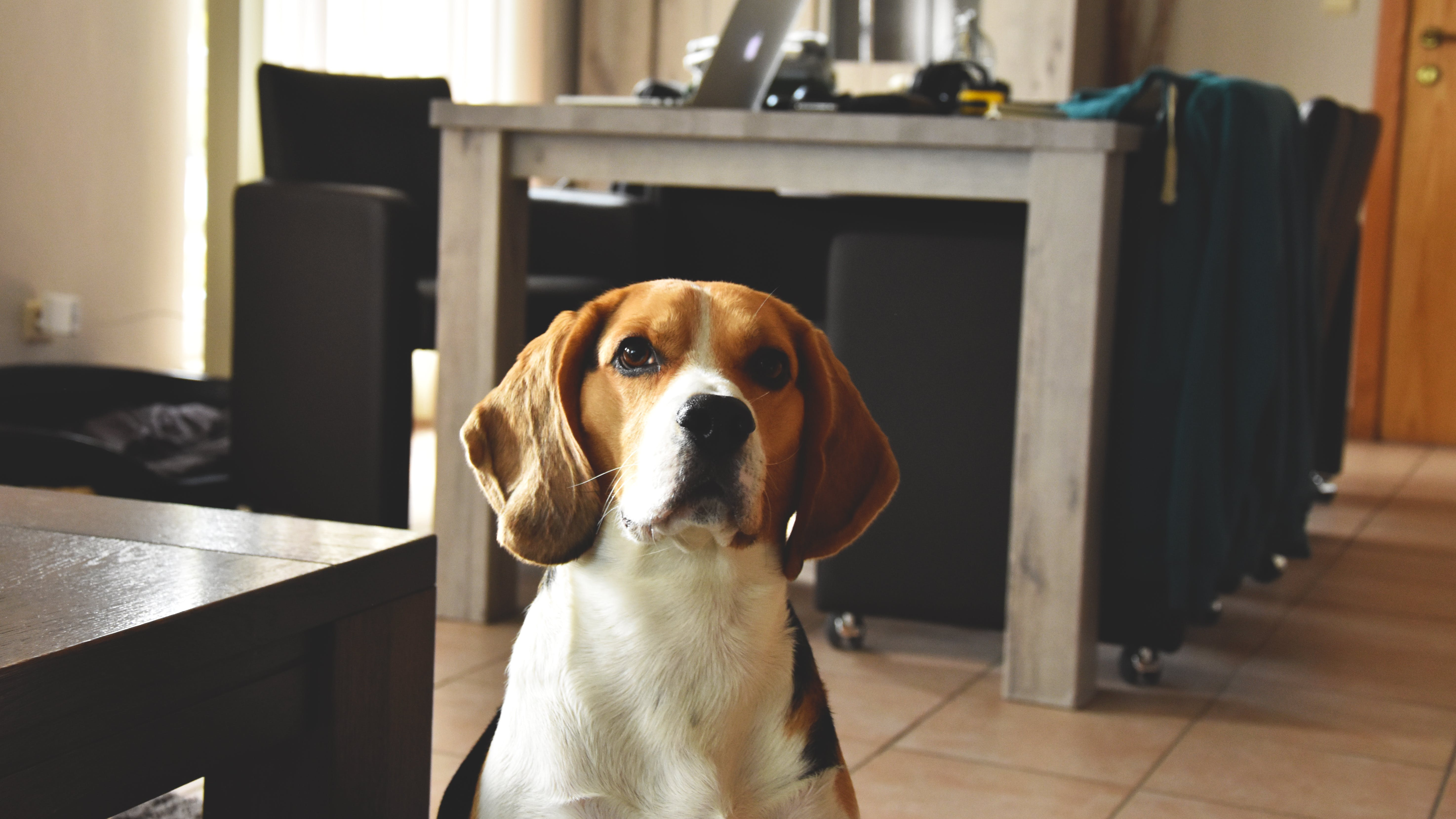 Free stock photo of beagle, cute, lucky