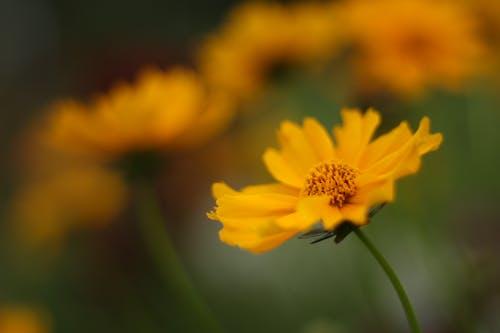 Foto d'estoc gratuïta de flors, fons de pantalla, fotografia, groc