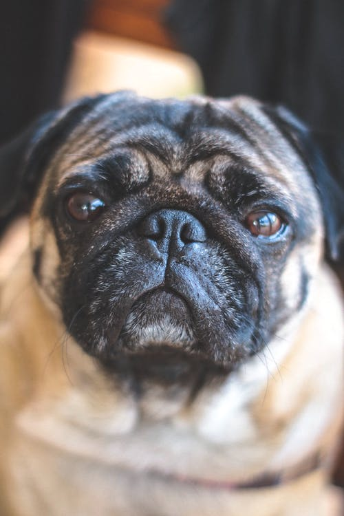 Kostenloses Stock Foto zu cachorro, dogen, mops, retrato de pet