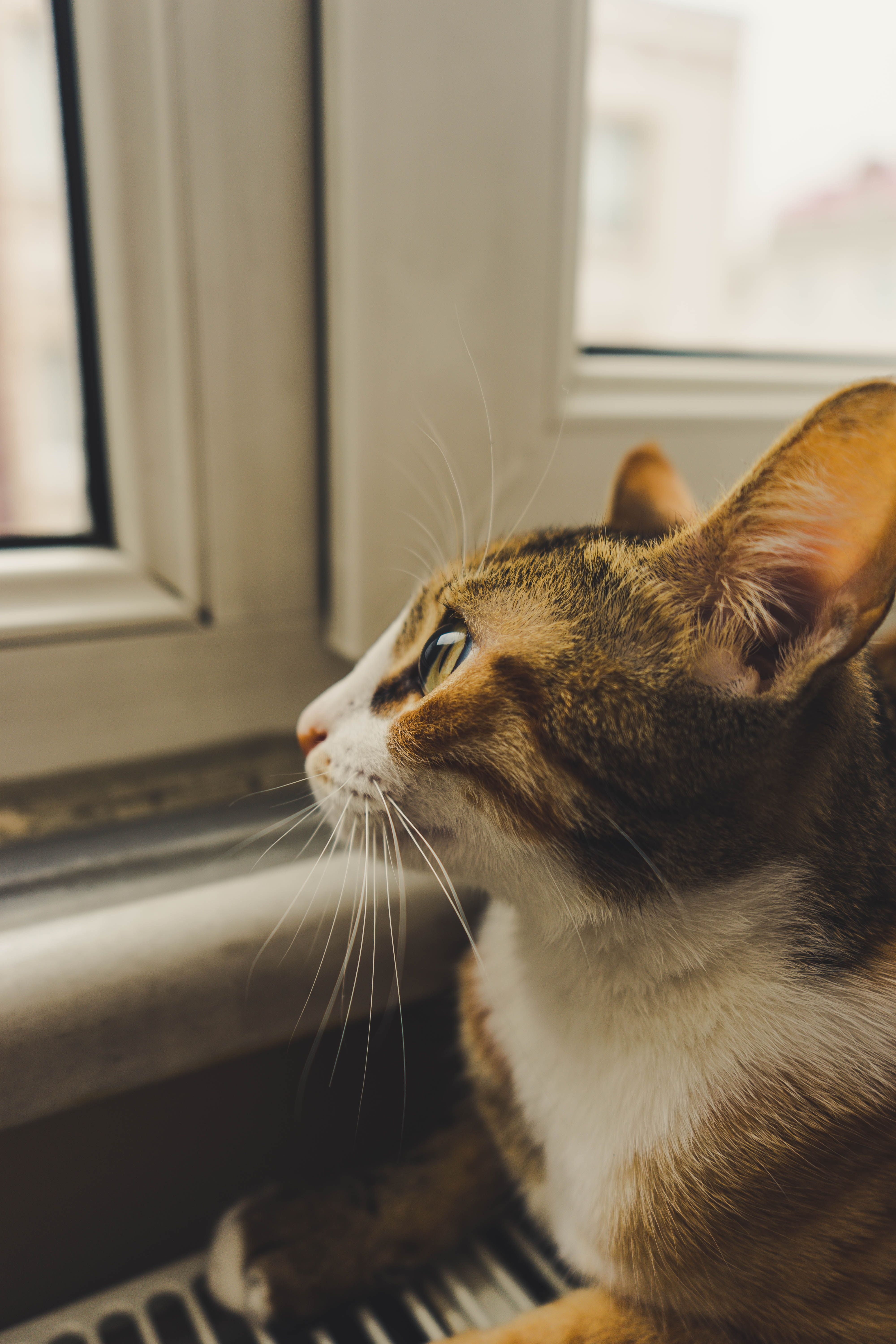 Cat Looking Out The Window Free Stock Photo