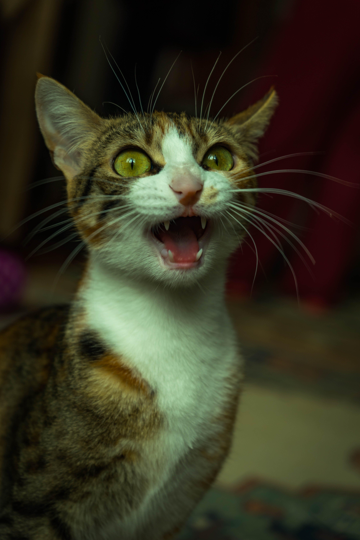 Kostenloses Stock Foto zu haustier, kätzchen, katze, katzenartig