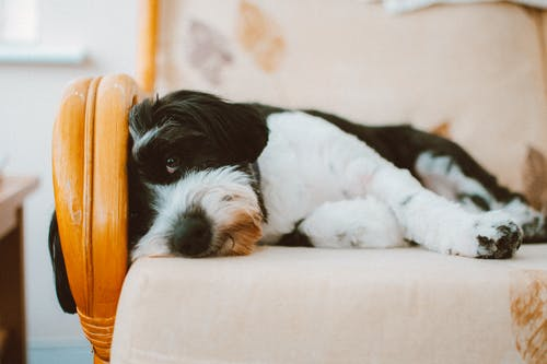 Selective Focus Photography of Long-coated White and Black Dog Lying on White Cushion