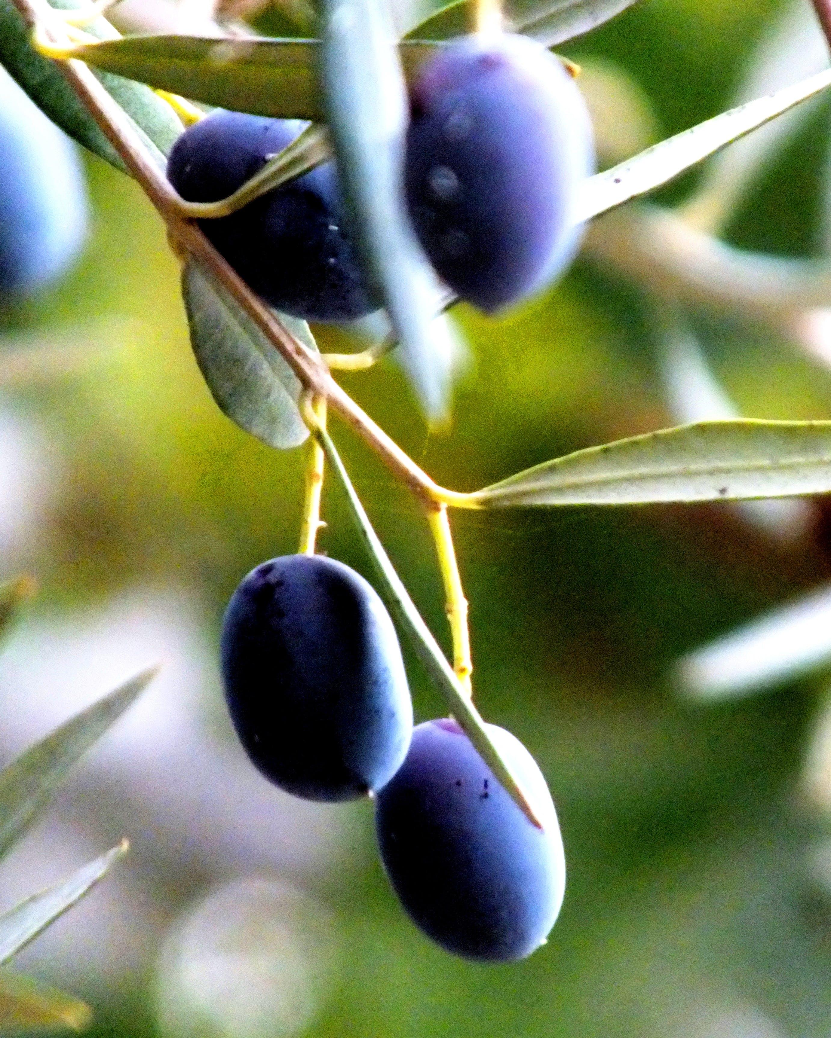 Free stock photo of black olive, black olives, olive, olive branch