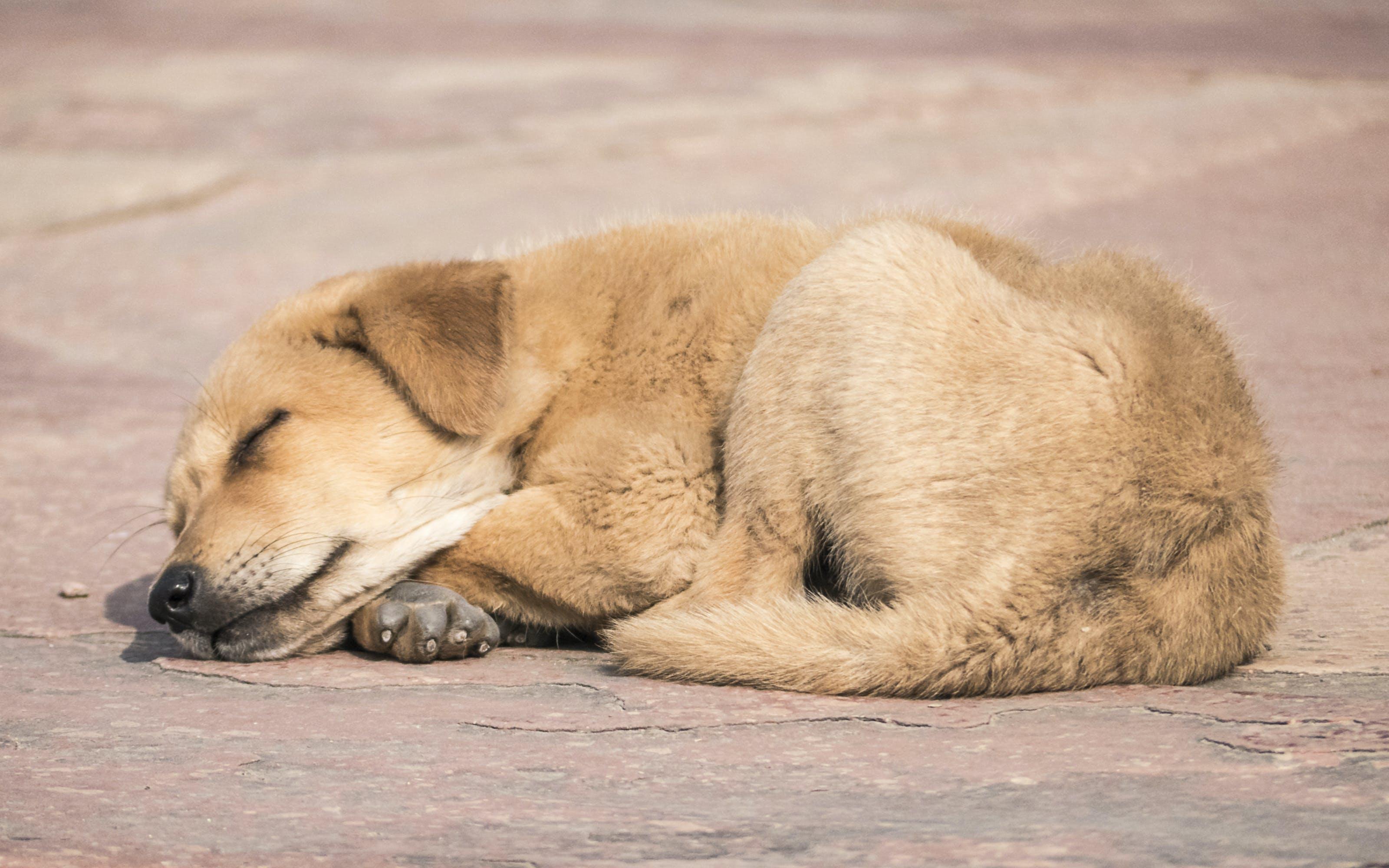 Gratis lagerfoto af sovende hund
