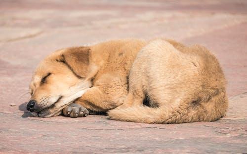 Foto profissional grátis de cachorro dormindo