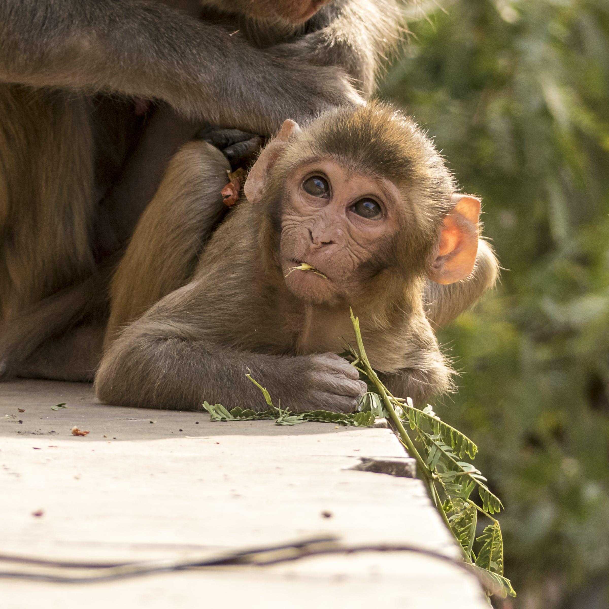 Δωρεάν στοκ φωτογραφιών με μωρό μαϊμού, τρώγοντας