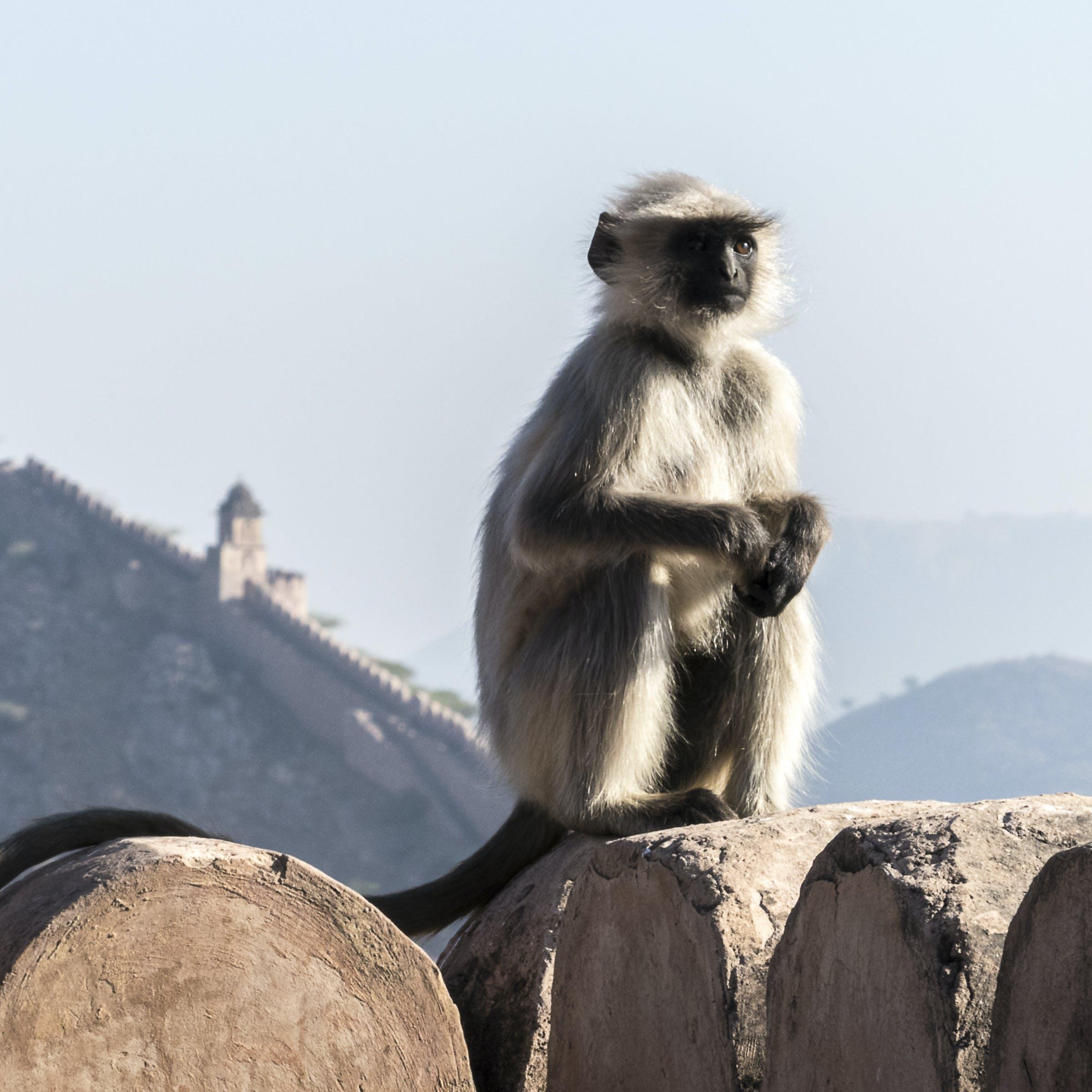 Gratis lagerfoto af abe, bymuren