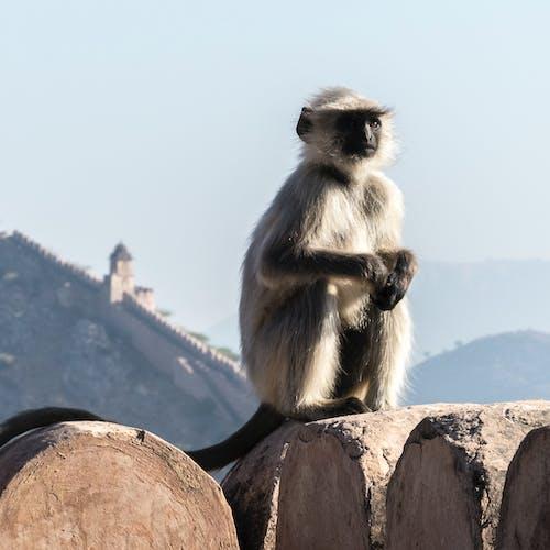 Foto profissional grátis de macaco, parede da cidade