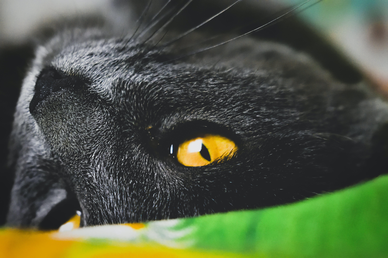 Δωρεάν στοκ φωτογραφιών με Γάτα, κίτρινη, κοντινό πλάνο, μάτι
