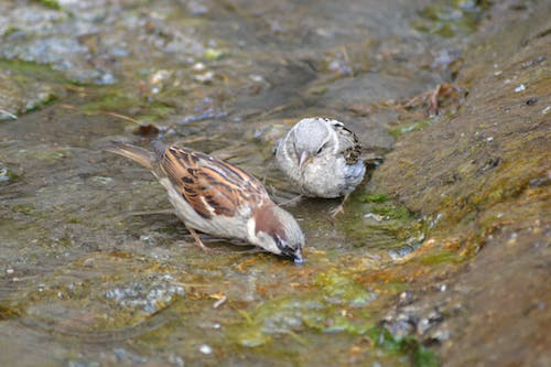 Free stock photo of couple, drinking, puddle, sparrow