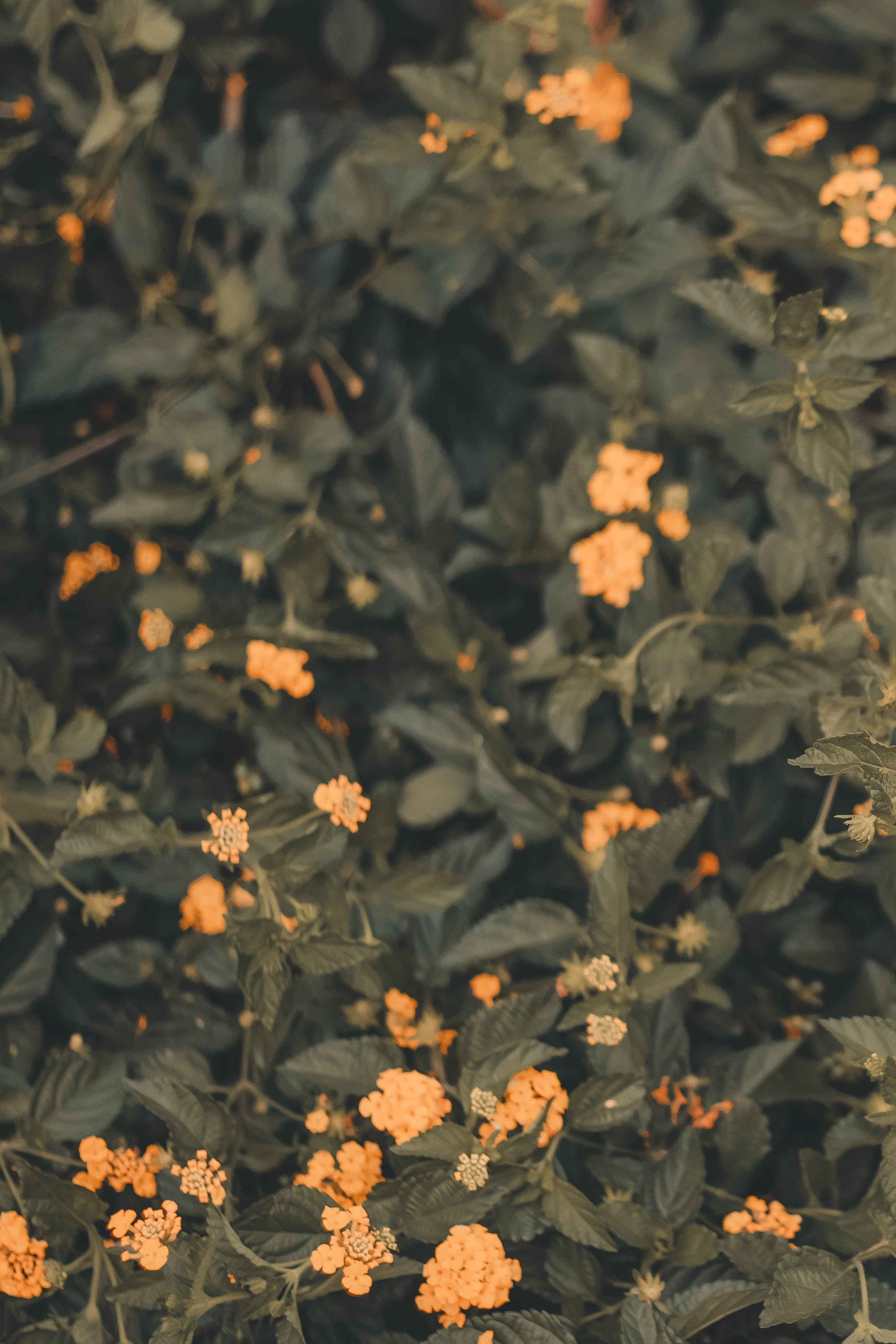 Free stock photo of bloom, blooms, blossom flora, environment
