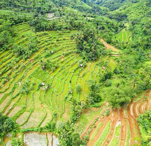 Foto d'estoc gratuïta de aeri, arbres, arròs, bonic