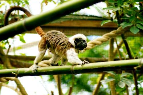 Darmowe zdjęcie z galerii z capucin, dżungla, fauna, fotografia zwierzęcia