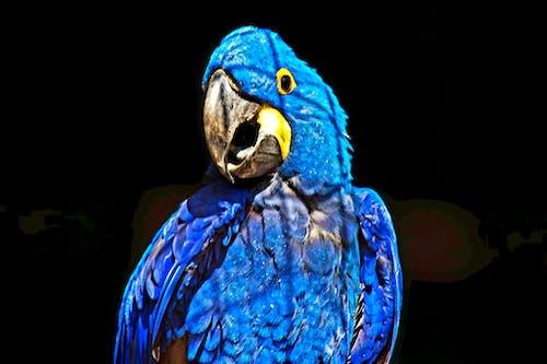 Darmowe zdjęcie z galerii z afrykańska grey papuga, ara, blue spix's, fauna