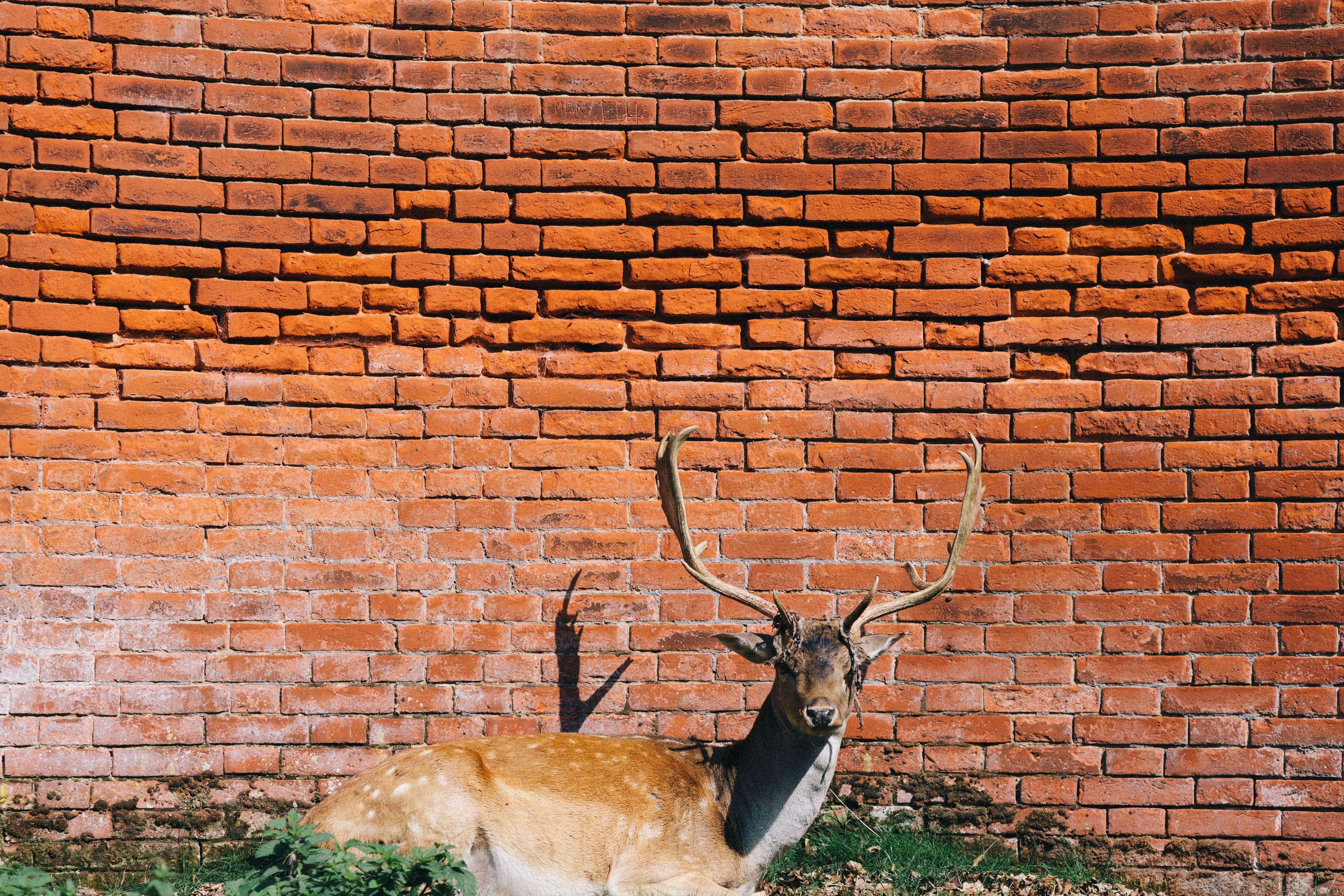 Brown Deer Lying Beside Brick Wall